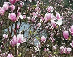 春遊淡水賞花!天元宮賞櫻  楓樹湖木蓮花如粉紅泡泡