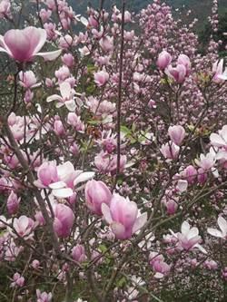 全台唯一木蓮花林 粉紅泡泡超夢幻