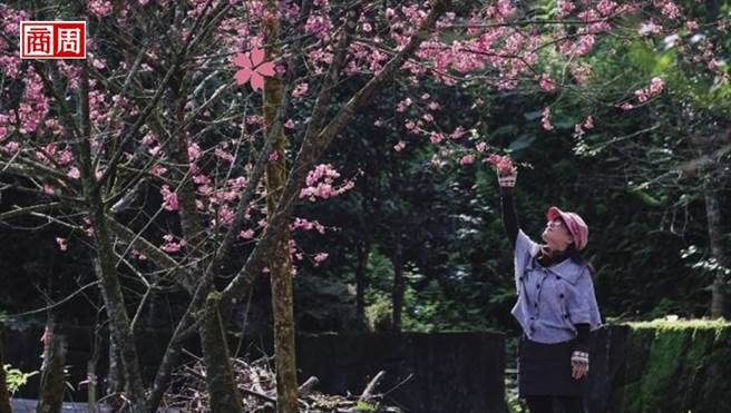 最先盛開的台灣山櫻,色澤嫣紅,襯上綠樹更顯嬌媚。(攝影者.高大鈞)
