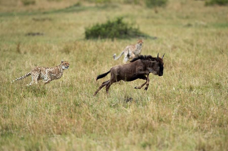 獵豹騎羚羊奔馳草原 下秒結局悲哀(示意圖/達志影像)