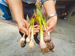 遇暖冬 雲林大蒜產量估減3成