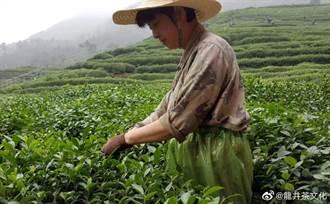 西湖龍井3月中旬採春茶 採茶工憑健康碼通行