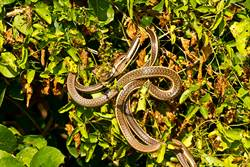 健行發現彩虹怪蛇 消失50年現蹤專家驚