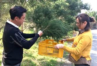無心插柳柳成蔭!種茶樹與好友分享 碰上新冠肺炎 茶樹精油大熱賣
