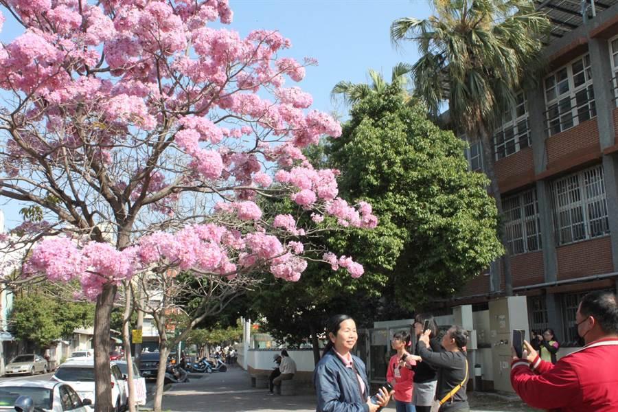 南郭國小側門口洋紅風鈴木滿樹堆粉雪,浪漫花海吸引人們來攝影,「許一個美麗的春天」。(吳敏菁攝)