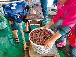 布袋劍蝦季 蝦腹抱卵口味佳