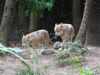 過去總是「郎有情、妹無意」!北美灰狼今春可否傳好孕?