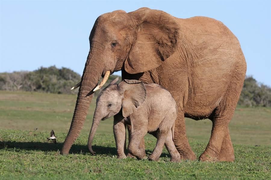 母象受困泥沼 絕望看兒被鬣狗分食(示意圖/達志影像)
