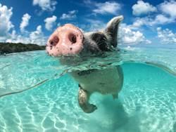 他岸邊釣魚 海中竟爬出野豬猛攻擊