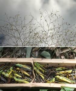 蝗翅蔽天的饑荒歲月──「飄」來一大片化不開的「烏雲」(二)