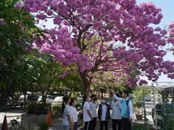 南陽國小紅花風鈴木 每年盛開報答社區