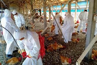 新埤鄉土雞場確診禽流感 現場撲殺3萬174隻雞