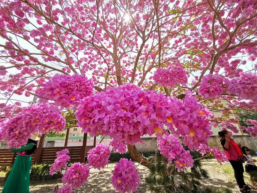 南新村長施正賀表示,往年的花況都不如預期,上周樹上突然爆開滿滿的紅花,他自己也嚇到。(吳建輝攝)