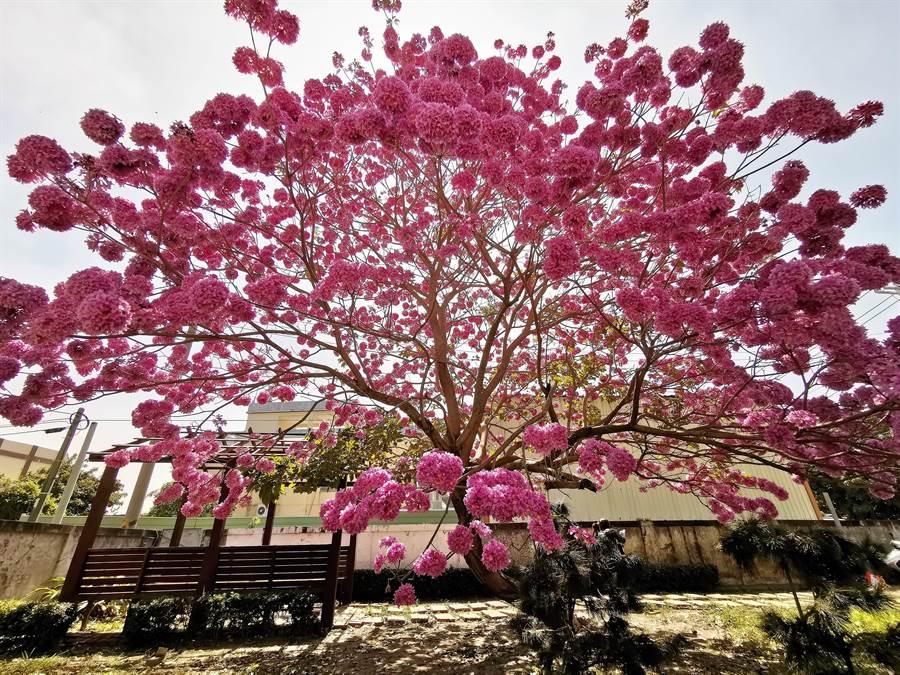 這棵紅花風鈴木高約5公尺,直徑約7公尺,村長預估差不多還有10天的花期。(吳建輝攝)