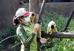 黑冠松鼠猴上課趣!七手八腳想搶美味葡萄乾