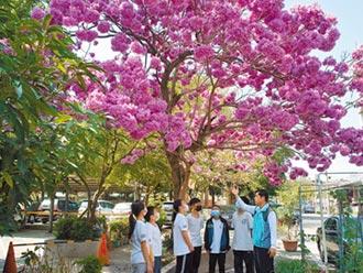紅花風鈴木盛開 校園滿春意