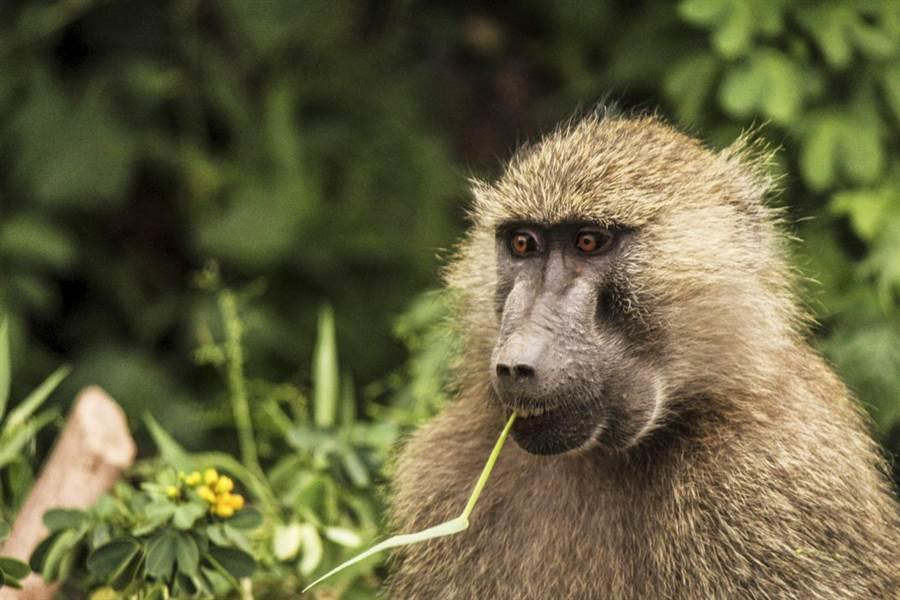 澳洲雪梨街頭25日上演動物大逃亡戲碼,3隻狒狒從一家醫院脫逃,牠們原本要被送進醫院進行手術。(資料照/美聯社)