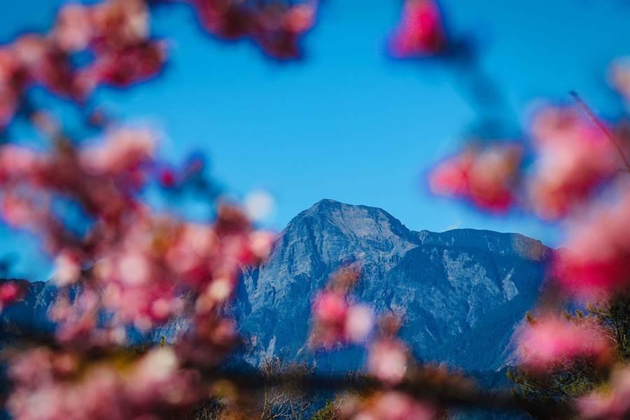福壽山農場千櫻園內有富士櫻、昭和櫻等多種櫻花,2月底至3月初正是最佳的觀賞期!(參山國家風景區管理處提供/陳世宗台中傳真)