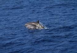 台灣是生態寶島!鯨豚種類佔全世界1/3強
