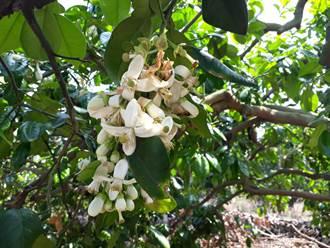 二水白柚花盛開 民眾駐足拍照療育心情