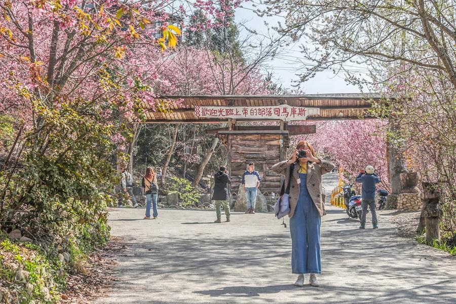 司馬庫斯櫻花盛開,賞櫻遊客去比年成長2倍。(羅浚濱攝)
