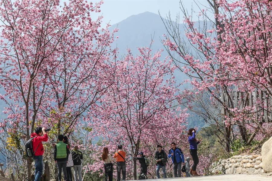 司馬庫斯櫻花盛開,賞櫻遊客多從大門口一路上行到神木區拍景。(羅浚濱攝)