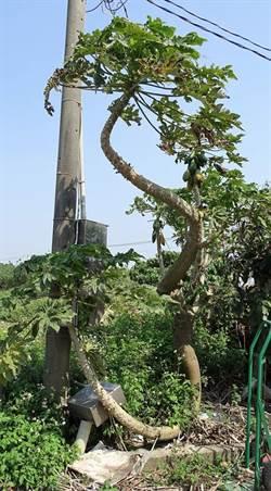 怪奇木瓜樹!頭、尾都能生木瓜