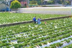 疫情衝擊國旅  大湖採草莓逆勢成長2成