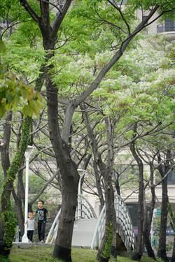 春來了  文心森林公園苦楝淡紫花飄香