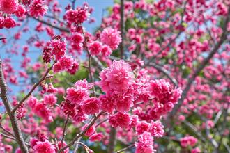 林口竹林山觀音寺祈福!櫻花大朵開 艷紅飽滿好美
