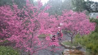 九族櫻花祭賞花森呼吸 咖啡與文學對話