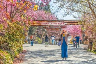 司馬庫斯賞櫻 遊客比去年多2倍