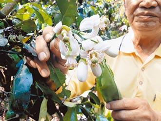二水白柚花盛開 清香粉療癒