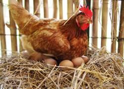 蛋殼剖半直擊小雞孵化 畫面超震撼