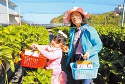 大湖採草莓人氣 逆勢增2成