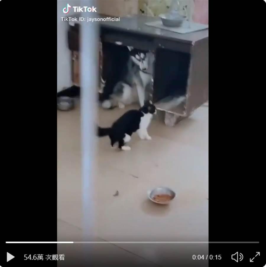 哈士奇試圖跟喵星人搶飯吃,沒想到被貓追打到桌子底下,完全不敢吭聲 (圖/影片截圖)