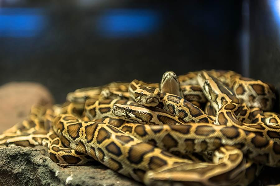 蛇頭從木板縫鑽出 掀開驚見150條(示意圖/達志影像)