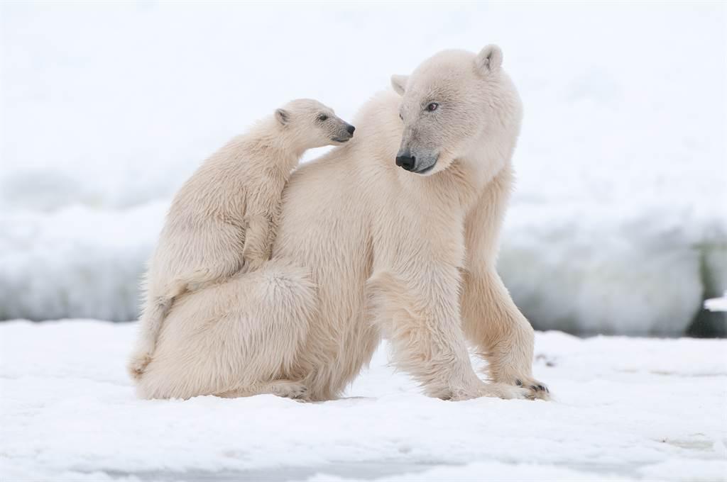 北極熊餓昏捕食子女 嘴叼幼熊頭專家驚(示意圖/達志影像)
