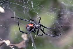 驚見蜘蛛戰棕蛇 劇毒之爭畫面震撼