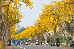 黃花風鈴木盛開 嘉義飄黃金雨