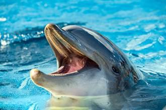 海豚把河豚當球玩 下秒中毒集體嗨