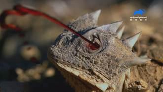 「迷你酷斯拉」大角蜥!眼睛噴血2公尺 秒讓你滿臉毒液