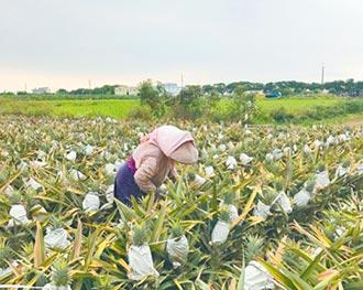 鳳梨產季到 台南收購破千公噸