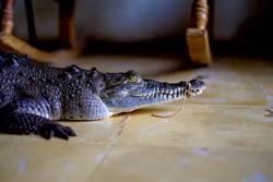 巨鱷被關地下室25年 警活捉看傻眼