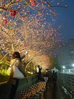 夜賞豔麗八重櫻 台北樂活公園夜櫻祭延長