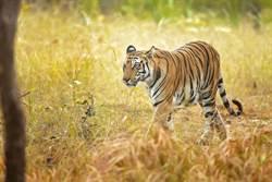 黑老虎全球僅1隻!罕見模樣掀熱議