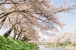 日本賞櫻勝地原來還有這些!4公里長的櫻花步道太美啦