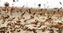 「千億蝗蟲」殺到!大陸考察團慘被咬 蝗蟲群聚怕同類「吃掉」