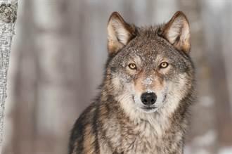 遇狼突飛撲她嚇壞 下一秒出乎意料