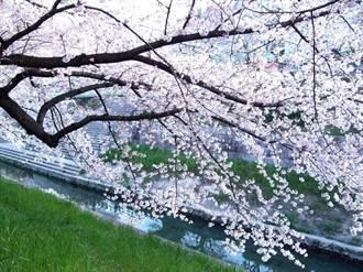 日本中部賞櫻!落櫻繽紛下野餐、河堤夜櫻也浪漫